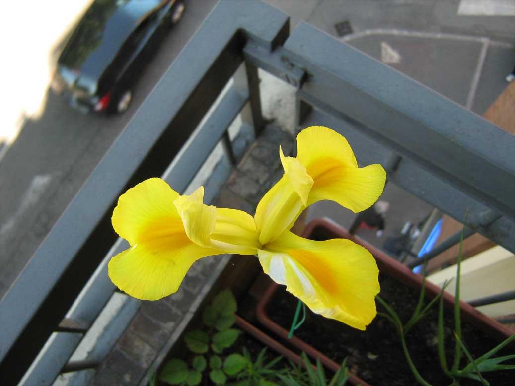 iris-hollandica-1