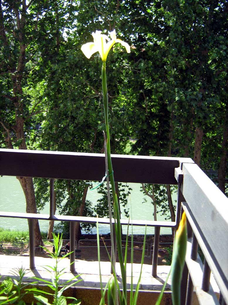 iris-hollandica-bocciolo