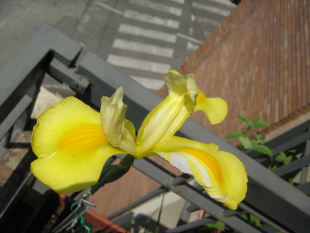 iris-hollandica-sbocciato