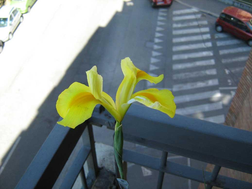 iris hollandica giallo